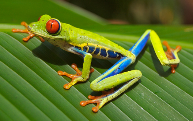 Costa Rica's famous red-eyed tree frog.